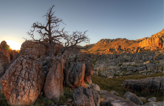 The Clanwilliam cedar © Geoff Spiby | 2018 South African National Biodiversity Report